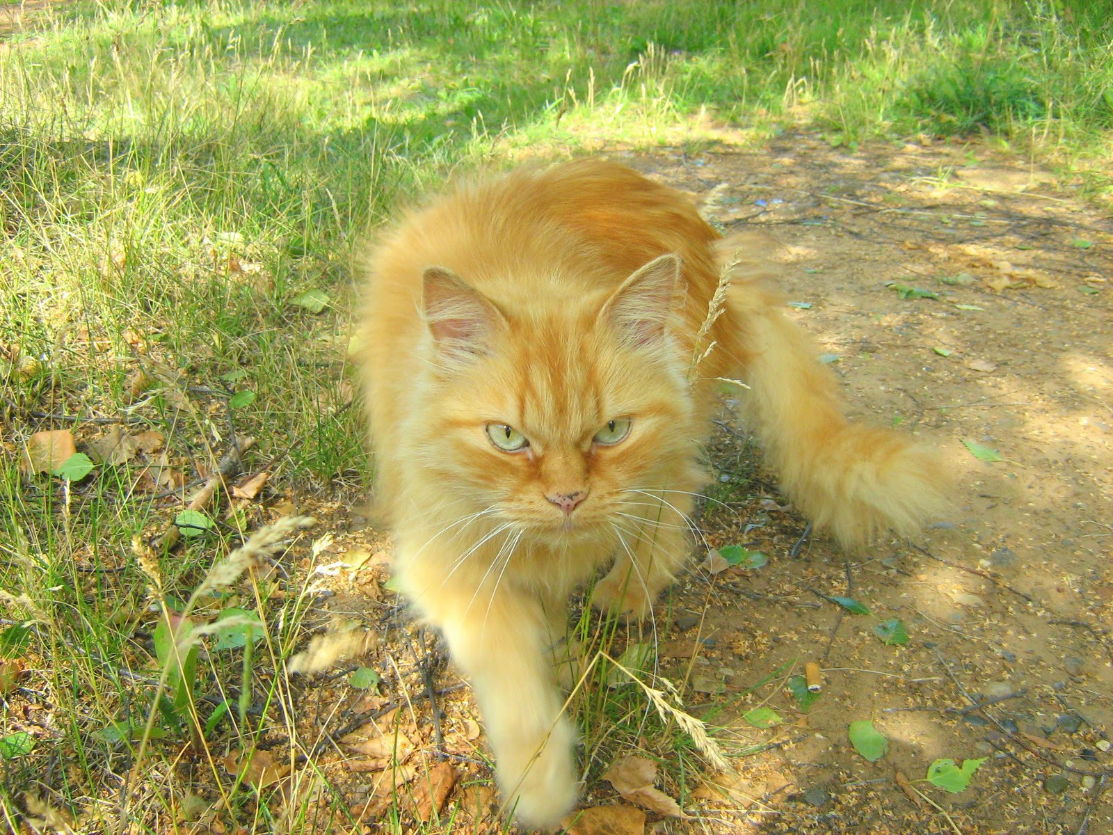 Affectionate Ginger Old Cat Russian Cats Pictures