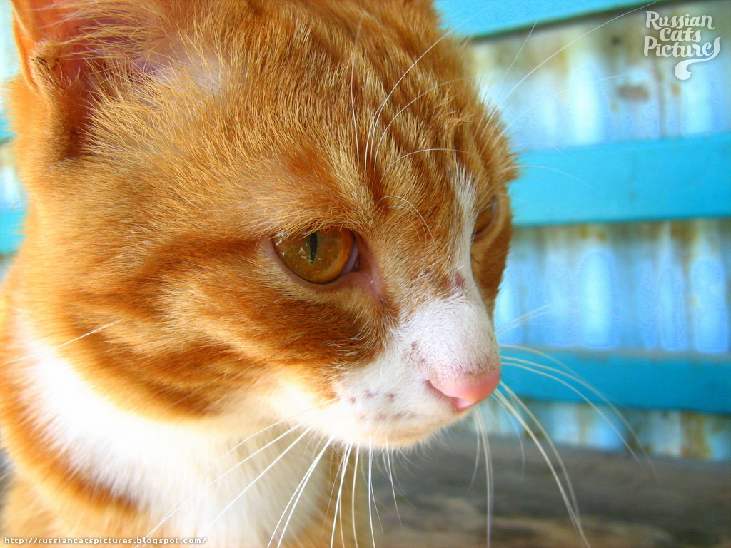Image Gallery orange eyed cat