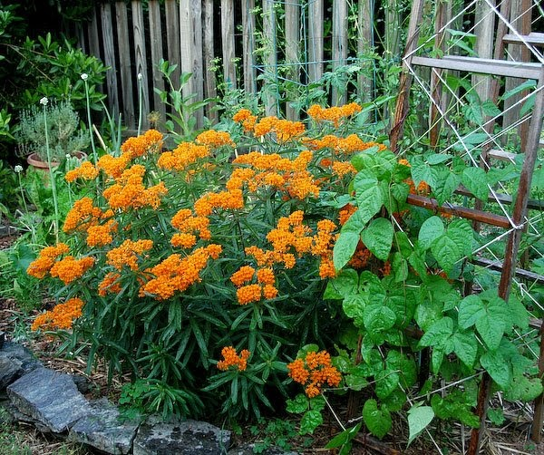 Indiana Native Plants: Natural Gardening: A Huge Butterfly Weed