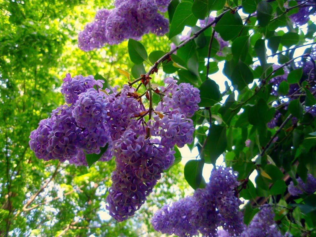 Lilacs Bush Journeys Lilacs