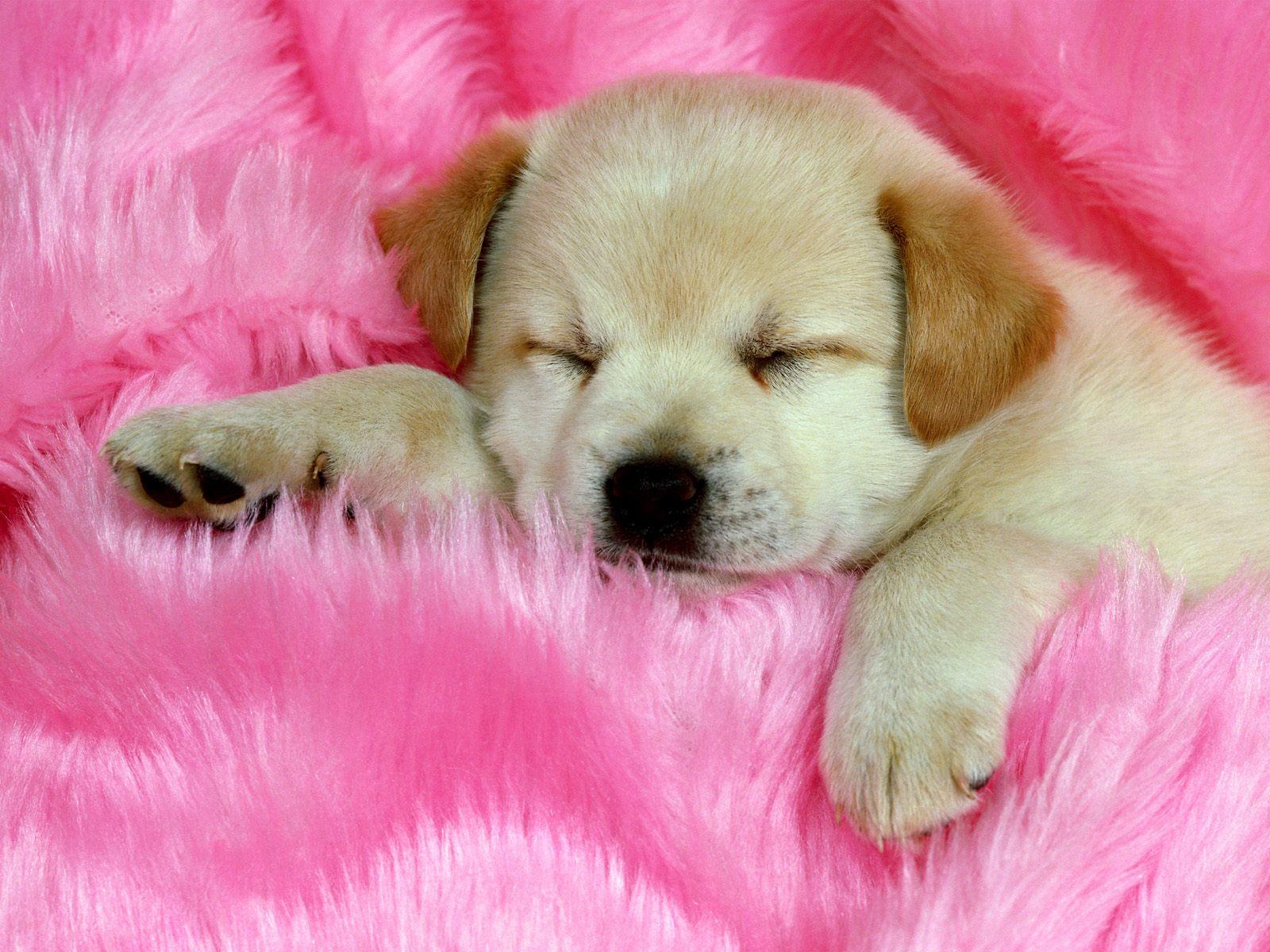 Een hond aan het slapen op een roze deken in deze leuke honden wallpaper