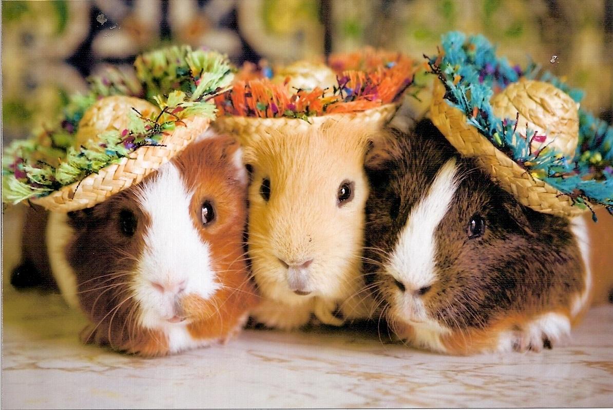 Cavia achtergrond met cavia's met hoedjes op hun koppen