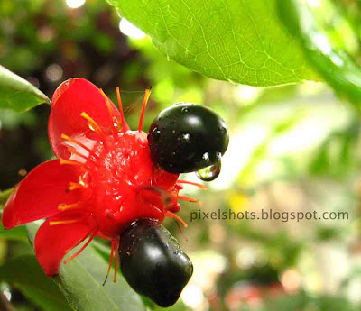 mickey-mouse-flowers,black-seeded-bright-red-flowers-named-mickey-mouse,kerala-flower-photos,closeup-photo-red-flower,Ochna integerrima,vietnamese-flowers