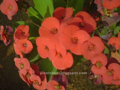 euphorbia milli red,red flower bunches,euphorbia flowers,euphorbia milli red flowers,milii flowers,spiky garden plants,ornamental plants with thorns,garden plants,kerala flowers,potted garden plant flowers