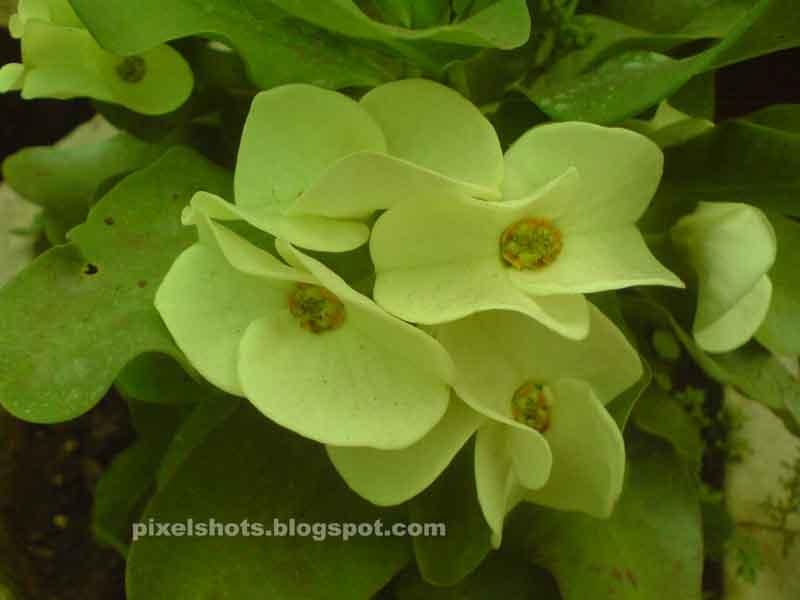 Pista green milii flowers, Euphorbia millii plant hybrid ...