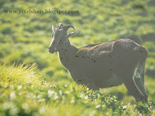 neelgiri tahr an extincted species of animals conserved in munnar hills,extincted-animals-of-kerala,munnar-hill-goats