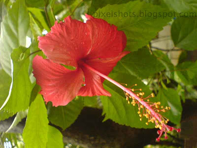 red flower hibiscus,shoe flowers from kerala,common-kerala-flowers,chembarathy-poovu,closeup photograph of hibiscus flower in the garden plant