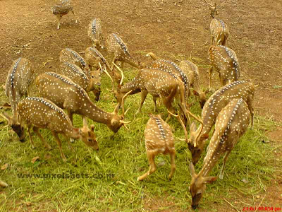spotted deers photograph from the old palace deers park in india kerala
