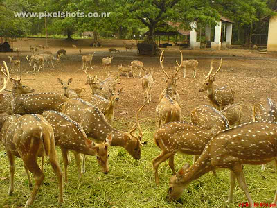 spotted deers in the hill palace deer park photograph taken from the old palace of rajas of cochin in kerala
