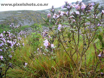 most beautiful closeup violet flower photo,photo of neelakurini flowers closeup from munnar hills of kerala india taken during a tourist trip to munnar