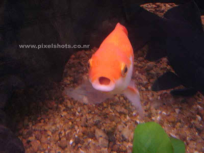 gold fish in aquarium posing for a photograph,aquarium photography