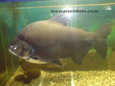 piranha fish closeup photograph,big piranha flesh eater fish in aquarium fish tank,african deadly fish piranha