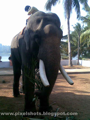 tusker,domestic elephant of kerala named ithithanam,elephant photos,kerala temple elephant,big elephant,asian elephant photo