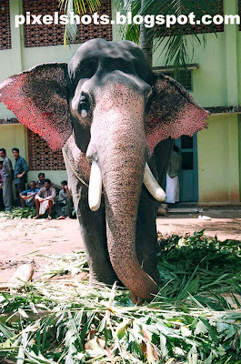 kerala-elephants,elephants photography from kerala,keralas trained elephant named perumbavoor kannan,photographed while the elephant feeds on palm leafs