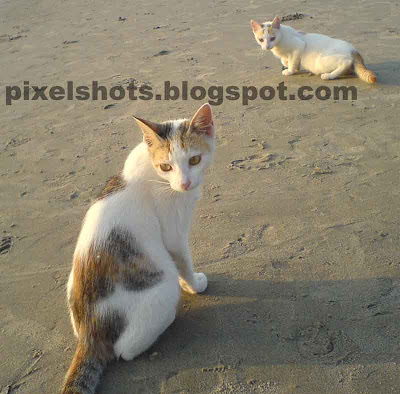 cat posing for photograph in the beach,kittens picture from the beaches in kerala,cat portrait,animal portrait,pet photography