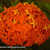 Thetty or Chethy red flower bunches,Medicinal Flowers of Kerala, Ixora Red Flowers