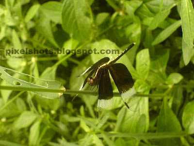 black and white dragon fly,dragon flies closeup mode photos,dragon-fly in grass,flies in garden,useful insects