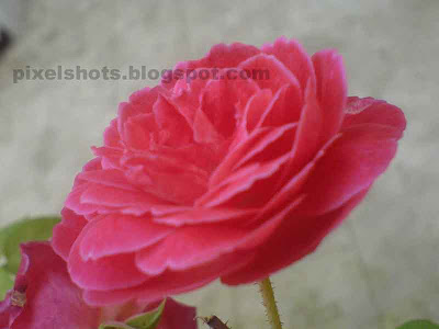 reddish pink rose,mobile phone macro photography,sony ericsson camera macros,pink rose kerala