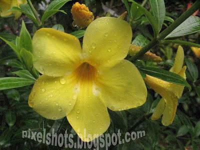 Rain soaked yellow bell flowers kerala flowerspixelshots cute yellow flowersallamanda garden flowermedicinal flowers mightylinksfo