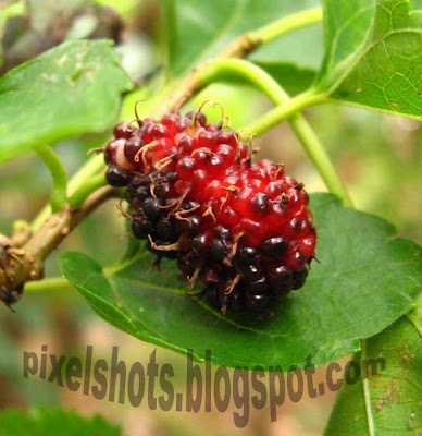 ripe-fruits-in-mulberry-tree,ripe-mulberries,mulberry-macro-photo,pixelshots-photos