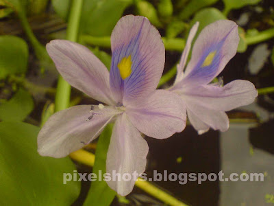 hyacinth-flowers,kerala-water-weeds,river-pollution,river-plants,polluting-river-weeds,water-hyacinth-flowers
