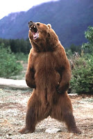 Grizzly bears (Ursus arctos) - The History.