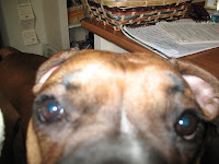 The Boxer Blog Boxer Allergies Boxer Itching Ear