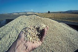 Oats in the diet are not safe for all people with celiac disease. Photo by Doug Wilson