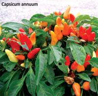 Kırmızı Biber, Acı Biber, Meksika Biberi, Meksika Ateşi, Capsicum Annuum, Kapsaisin