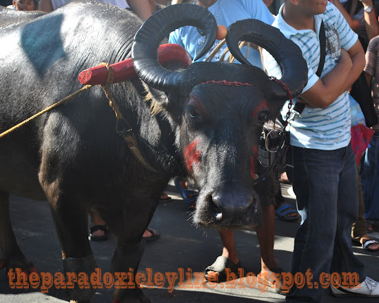 The best carabao in Pahiyas 2010