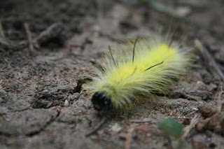 Fuzzy Yellow Caterpillar on the ground