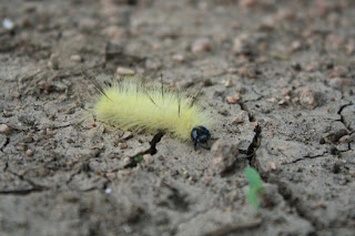Fuzzy Caterpillar on the ground