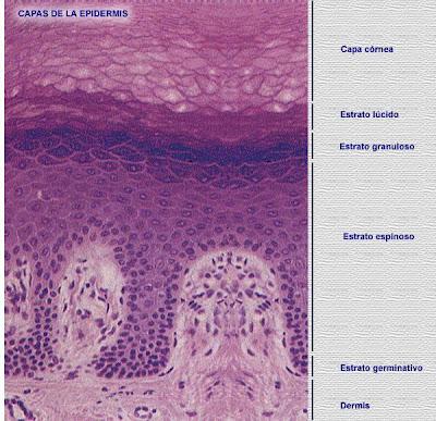 Cancer biologia celular
