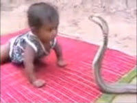 Video Bayi VS Ular Cobra, Ngeri
