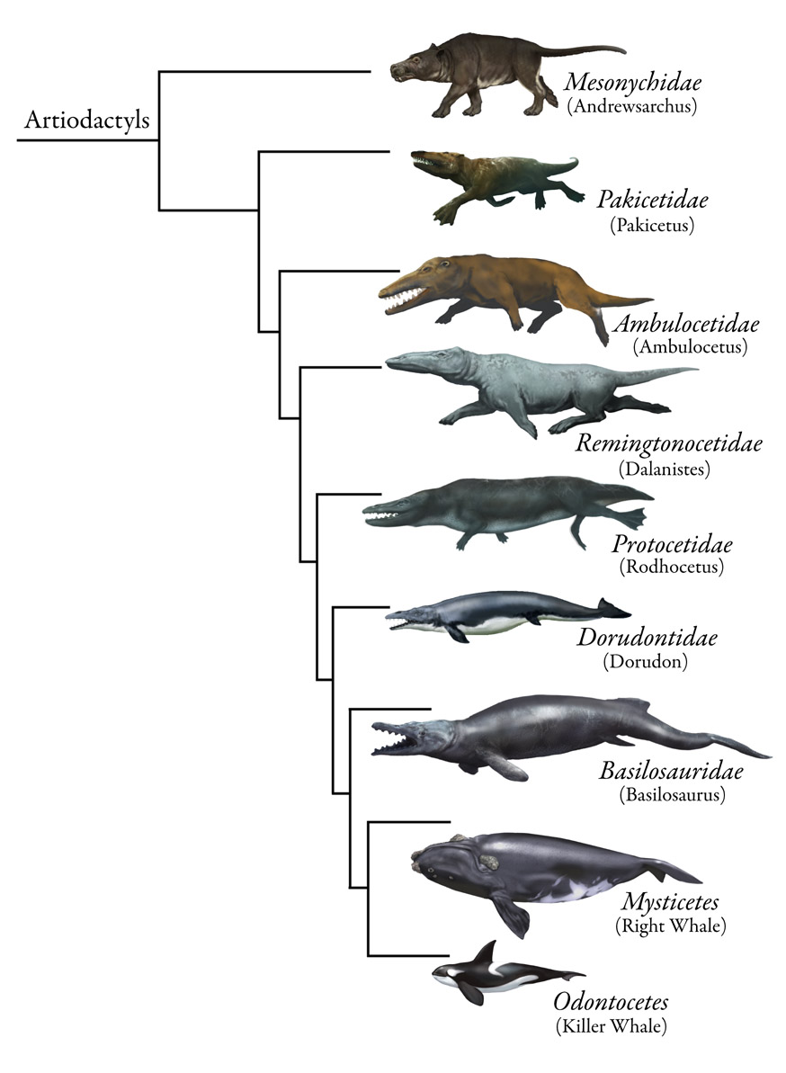 Stages Orca Whale Evolution