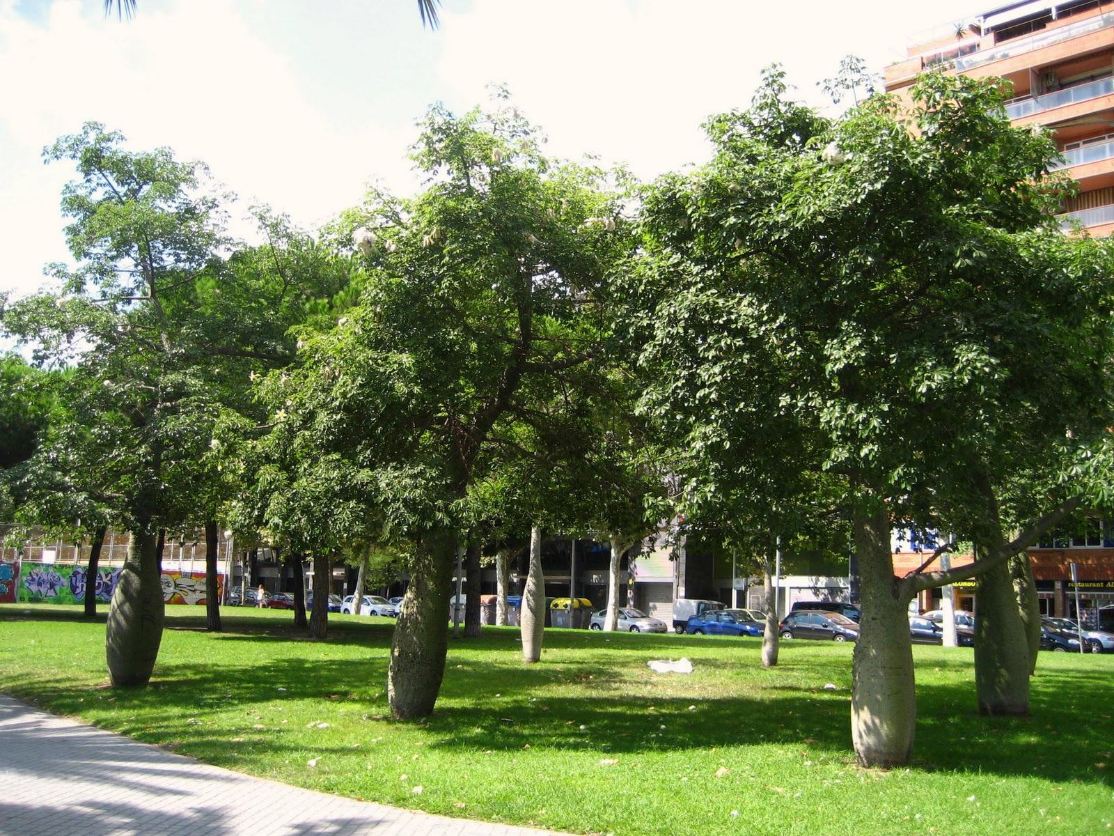 Resultado de imagen de chorisia speciosa tree