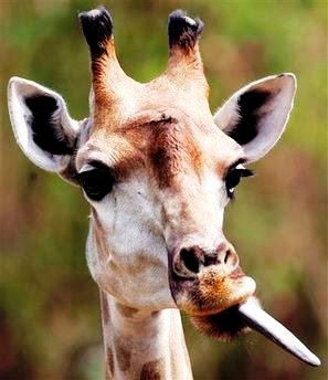 zunge der giraffe