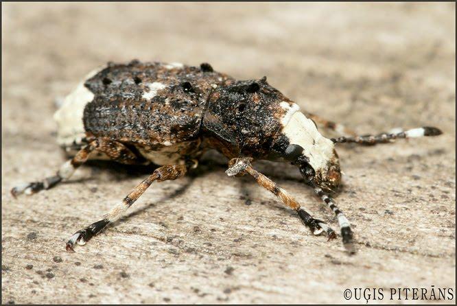 Platsmeceris (Platystomus albinus)