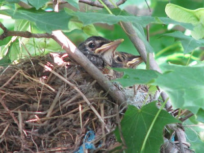 Image of Robin fledglings in a nest