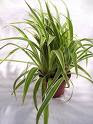 Sell Home Grown Spider Plants - Easy Money