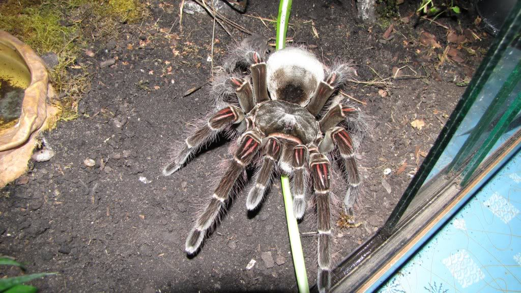 Biggest Camel Spider Ever Recorded | www.pixshark.com ...