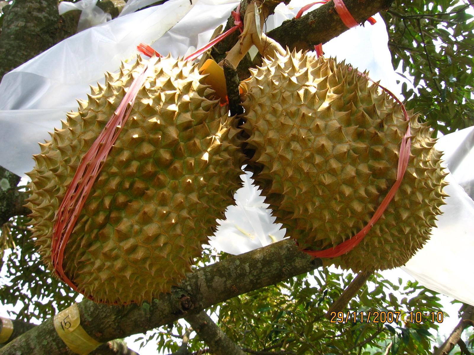 Durian Montong  GambarBinatangCom