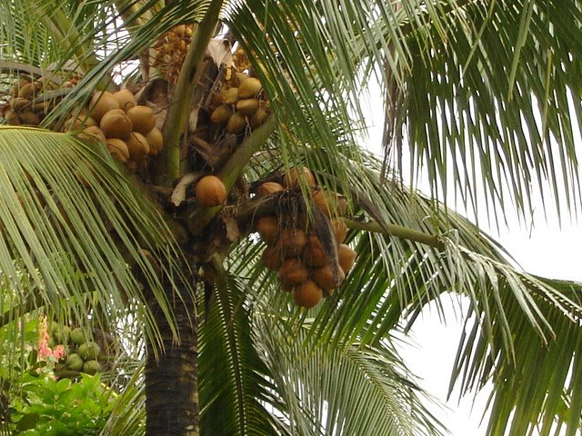 Coconut tree and fruits in West Papua