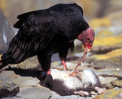 Vulture eating dead animal