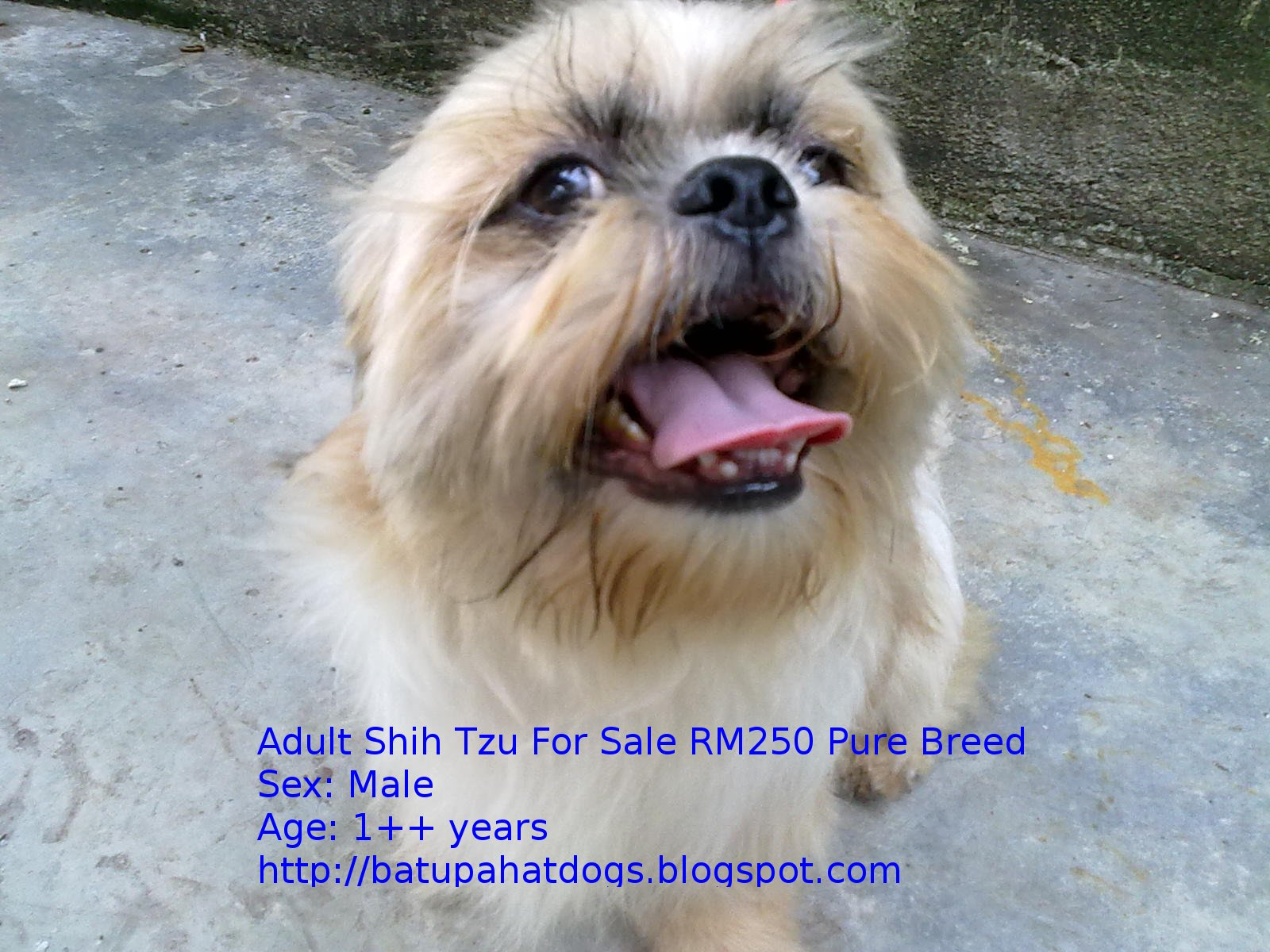 Shih Tzu Adult For Sale 18