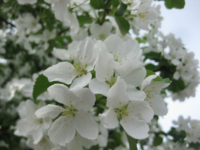 what do i know three anchorage trees with white flowers