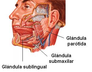 distribucuón de las principales glándulas salivales