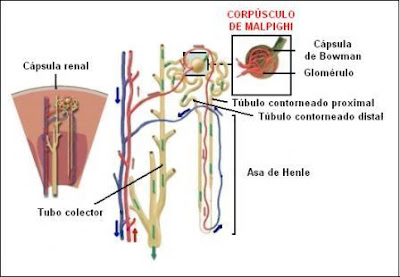 Estructura de un nefrón
