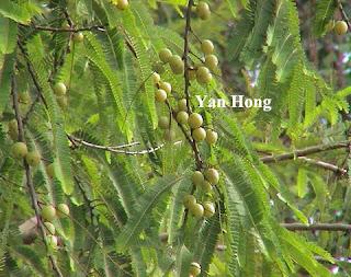 马六甲树果实