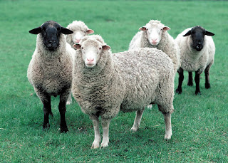 Sheep (Ovis aries), Photo courtesy of USDA Natural Resources Conservation Service.